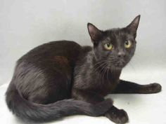 SHINA - A1068927 - - Brooklyn  Please Share:    ***TO BE DESTROYED 04/04/16*** SHINA is an ebony lass who ACC has tossed onto the 'at risk list', who came in with kittens (not listed) and she is the one in grave danger tonight, not only because little black cats are the least likely to get out of ACC, but because this little Oriental looking short hair girl is on a small list with other lovely cats. SHINA did great on her evaluation, hissed once, probably from f