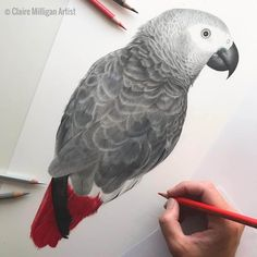 Claire Milligan is a UK based self-taught freelance artist who specializes in highly detaile. Parrot Drawing, Parrot Painting, Realistic Animal Drawings, Bird Drawings, Drawing Animals, Bird Artists, African Grey Parrot, Watercolor Bird, Watercolor Paintings