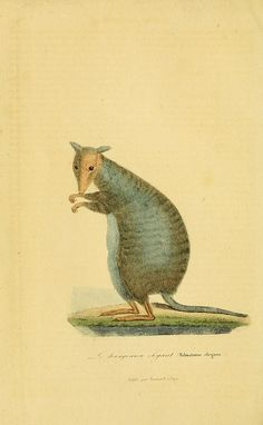 A page from a natural history book. Cute little creature.