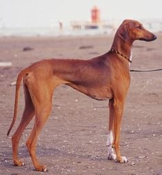 azawakh dog photo | All Dog Breed Information: Azawakh
