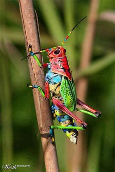 Rainbow Grasshopper. These bugs may look weird but they have extraordinary color combination.