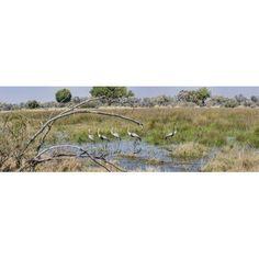 Wattled Cranes (Bugeranus carunculatus) at a pond Chitabe Okavango Delta Botswana Canvas Art - Panoramic Images (36 x 12)