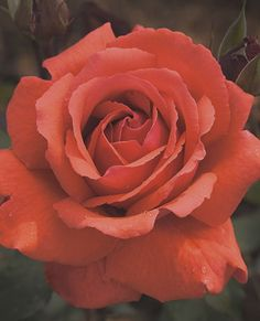 "Fragrant Cloud Hybrid Tea Rose. Very fragant. Incredible colour. Blooms frequently. It's one of my favourites. Known also as ""Duftwolke""."