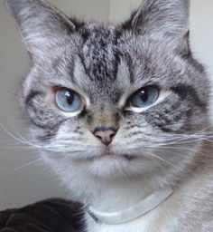 Look out, Grumpy Cat! Loki the cat has a pretty strong grumpy face too!