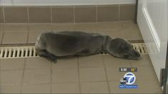 The Pacific Marine Mammal Center in Laguna Beach says its seen almost a 40 percent increase in sick sea lions this year. While it is too early to know what is causing the increase in sick sea lions, Sedlick and others have a few theories such as the increased surf and storms.