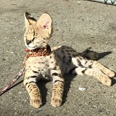 savannah cat People Have Giant Cats Living In Their Houses And Oh My Goodness Pretty Cats, Beautiful Cats, Animals Beautiful, I Love Cats, Cute Cats, Savanna Cat, Big House Cats, Serval Cats, Giant Cat