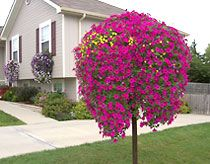 this is not a tree; it's a group of hanging baskets!!
