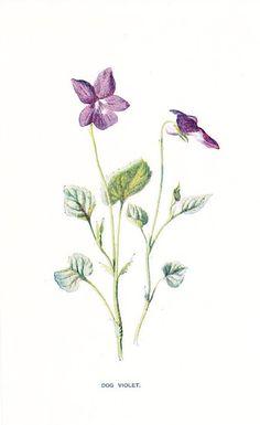 Wild Violet Flower Drawings   1900 Botany Print - Dog Violet - Vintage Antique Flower Art ...