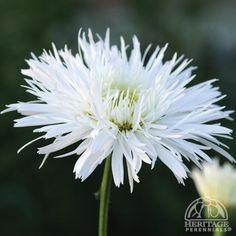 Leucanthemum × superbum 'Sante'