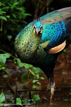 Java Green peafowl (Pavo muticus muticus) the nominate race