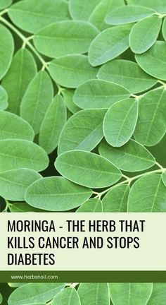 you want to be healthier, to live longer, to have energy and not to have back problem, then Moringa herb is the right thing for you. It originates from South Asia and it also known under the term 'drumstick'. Due to its powerful antioxidant properties, it Natural Home Remedies, Natural Healing, Herbal Remedies, Health Remedies, Holistic Healing, Natural Oil, Cold Remedies, Health And Wellness, Moringa Oleifera