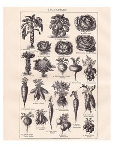 I found this old botanical print of vegetables in an encyclopedia from 1904. It is titled Vegetables and has beautiful little black and white illustrations of carrots, kale, Brussel sprouts, cauliflower, radishes, turnips, etc. I scanned the page at a high resolution and sized it to print out
