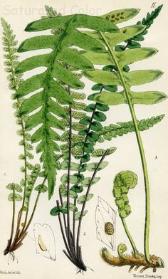 Botanical - Ferns