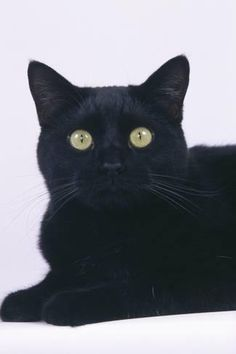 Photographic Print: Black Cat by DLILLC : 24x16in