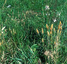Photo of Sweet Vernal Grass