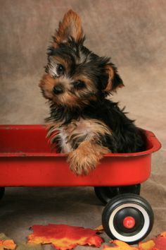 Adorable Yorkie in wagon  ♥