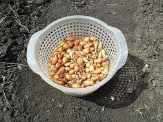 Cumpărând ceapă arpagic de la o bătrânică, aceasta mi-a dat un sfat cum să o semăn corect. Timp de câțiva ani cultiv ceapa după această metodă și îi sunt foarte recunoscătoare pentru ajutor. Usuc ceapa arpagic și timp de o săptămână o încălzesc la temperaturi de 20-25 grade. Înainte de plantare, o țin timp de 3 ore în apă cu sare – 1 lingură de sare la 1l de apă caldă. Apoi spăl ceapa și iarăși o înmoi timp de 2 ore în permanganat de potasiu (soluția are o culoare întunecată). 2 ore sunt… Gladiolus, Gardening Tips, Onion, Vegetables, Flowers, Sun, Plant, Simple, Tips