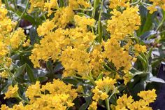 Basket of Gold (Aurinia saxatilis) - zones 4-7