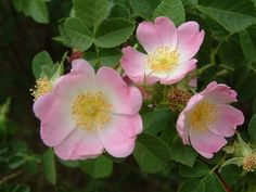 eglantine (sweet briar rose)