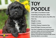 Lancaster Puppies has Toy Poodles for sale now! View our adorable puppies today and find your next furry friend! Toy Poodles For Sale, Poodle Puppies For Sale, Black Lab Puppies, Poodle Mix, Toy Puppies, Cute Puppies, Poodle Grooming, Lancaster Puppies, Dog Area