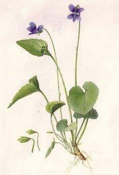 birth flower--- Botanical Violet illustration by ME Eaton. In the Language of Flowers Violet translates to ~faithfulness~. Botanical Flowers, Botanical Prints, Ikebana, Academic Drawing, Bouquet Tattoo, Illustration Botanique, Sweet Violets, Small Bouquet, List Of Flowers