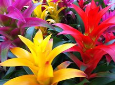 Color Bromeliad plants - for that tropical touch