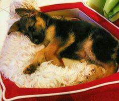 German Shepherd pup! rest well little fella!
