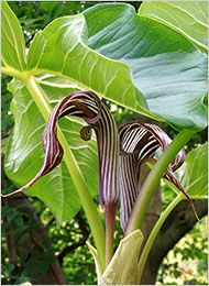 Arisaema fargesil, a jack-in-the-pulpit