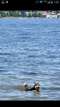Foa swimming. Siberian husky
