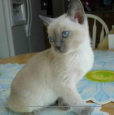 Looks like the kitty I had, Meeko. Tonkinese, the only cat I would ever even consider. Tonkinese Kittens, Siamese Cats, Kitty Cats, Cute Cats And Kittens, Kittens Cutest, Burmilla Cat, Oriental Cat, Domestic Cat, Beautiful Cats