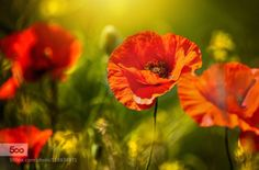 A Scarlet Purse of Dreams by dananaylorwalker  beauty beauty in nature field flower grass green nature poppy red spring sunlight A Scarlet Purse of