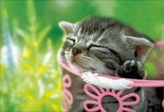 Cute Kitten by Picture Girl ~ Nap time :)