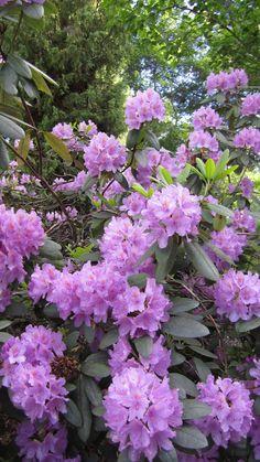 Alppiruusu kukkii