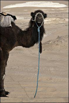camel - Egypte - désert Blanc