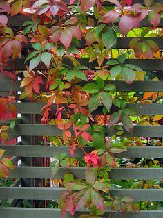 Klättervildvin har femflikiga blad. Rådhusvin har tre. Garden Trellis, Garden Fencing, Garden Shop, Dream Garden, Virginia Creeper, Gardens Of The World, Walled Garden, Autumn Garden, Trees And Shrubs