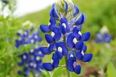 """150 TEXAS BLUEBONNET LUPINE Lupinus Texensis Flower Seeds by Seedville. $2.00. LIGHT REQUIREMENTS:  Sun  . . .  SOIL / WATER:  Average - Dry. PLANT HEIGHT:  12 - 24""""  . . .  PLANT SPACING:  12 - 15"""". HARDINESS ZONE:  3 - 9 (and reseeds itself easily). The Texas Bluebonnet attracts bees, birds, and butterflies. It is the state flower of Texas. They tolerate heat and drought very well, and have distinct leaves that will add texture and interest to your garden even wh..."""