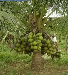 Dwarf coconut tree Fruit Plants, Tropical Plants, Fruit Trees, Palm Trees, Coconut Varieties, Fruit Bearing Trees, Coconut Palm Tree, Kinds Of Fruits, Garden Landscaping