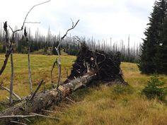 Windwurf Fiche am kirchlichen Stand - alte Hochwaldweide Trunks, Plants, Rocks, Hiking, Drift Wood, Flora, Plant, Planting