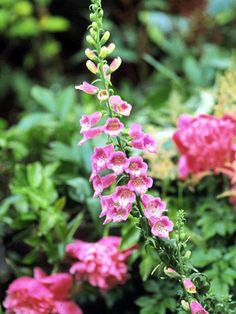 Foxgloves are majestic, low-care plants for the woodland garden. Most of the common varieties are biennials, meaning they grow foliage one year, bloom the next, then die. But happily, if you leave them to drop seed, new crops will spring up on their own every year.        Name: Digitalis selections Growing Conditions: Part shade and moist, well-drained soil        Size: To 6 feet tall and 2 feet wide        Zones: 4-8