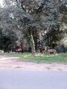 ¡A cualquiera que se le diga que campan en absoluta libertad tres ejemplares macho de cabra montés a pocos kilómetros de la ciudad de Barcelona!