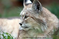 Meet Our Bobcats Bailey Rae In Memory of Bear BoBo Cleo Howie Josie Kujo In Memory of Remus Romulus Shambles Sheba Simba Tashi Photo Gallery Sheba is an older bobcat who came from Minnesota. Cats 101, Minnesota, Photo Galleries, Meet, Gallery, Animals, Animales, Roof Rack, Animaux