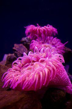 Sea Anemone ♥ Stunning colored underwater sea beauty =) Maliha
