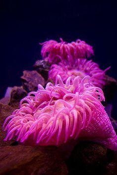 Sea Anemone ♥  Stunning colored underwater sea beauty =)    Maliha