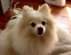 WHITE POMERANIAN Hercules #Pomeranian #HerculesPomeranian #Hercules #WhitePomeranian