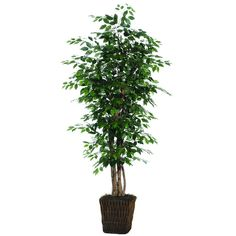 Ficus Executive Tree in Basket