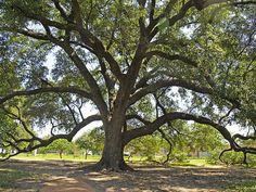 Live Oak tree in Austin
