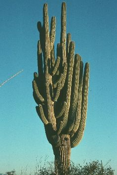 The saguaro can grow many arms.  http://www.pinterest.com/nanatang; http://www.arizonensis.org/images/plantae/SaguaroChamp.jpg