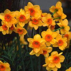 Narcissus - Kedron