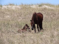 The National Park Service reports a foal has been born to the wild horse herd roaming the Shackleford Banks at Cape Lookout National Seashore. It's a boy and brings the herd to North Carolina Coast, Wild Mustangs, Circle Of Life, Park Service, Moda Emo, Wild Horses, Art History, National Parks, Old Things