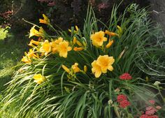 Daylilies - a colorful and welcome addition to any garden.